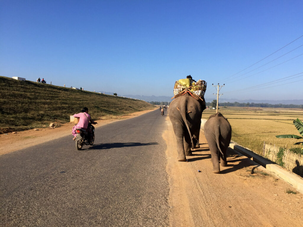Domestic elephants coming from collecting wood in the forest, Loikaw