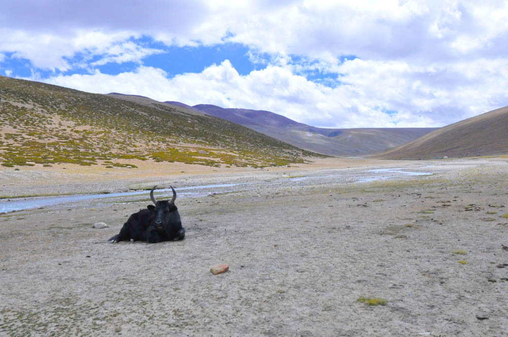 A yak laying on the plains of Nimaling, Markha Valley trek