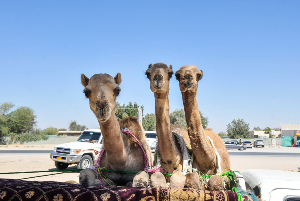 Camels traveling on a truck - Dubai on a budget