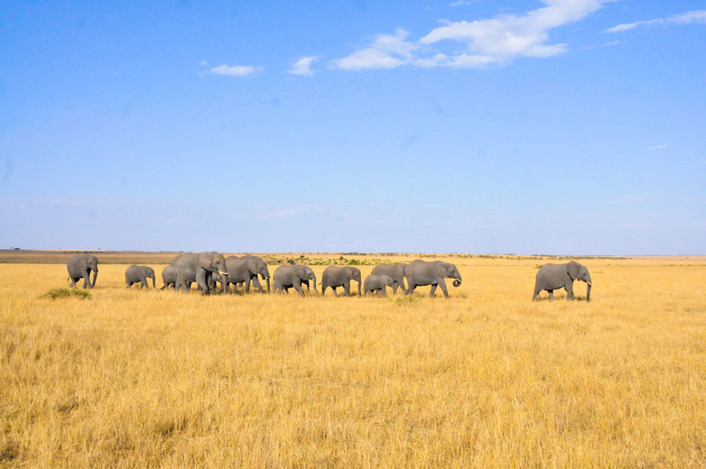Elephants at the Maasai Mara safari