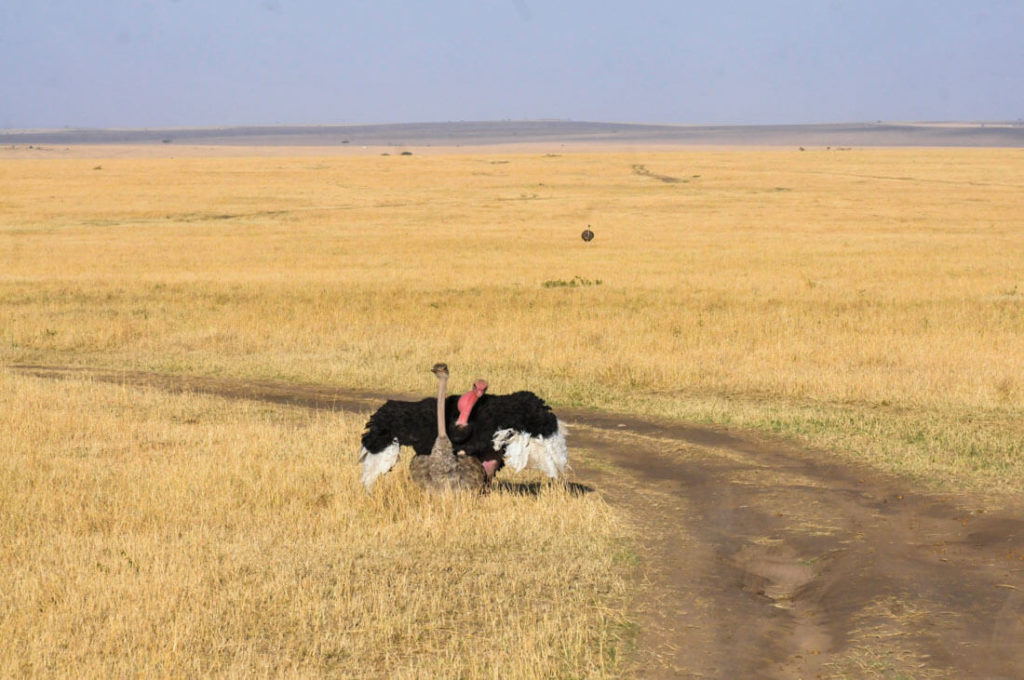 Ostriches at the Maasai Mara National Park