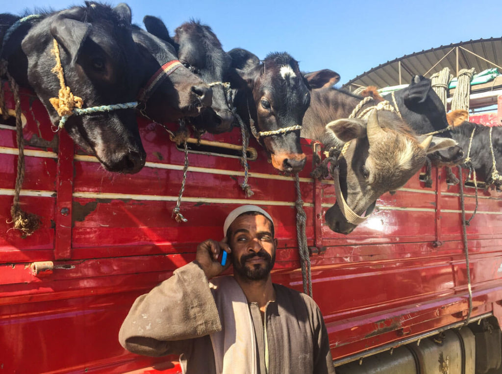 A man and his cows at the camel market of Daraw