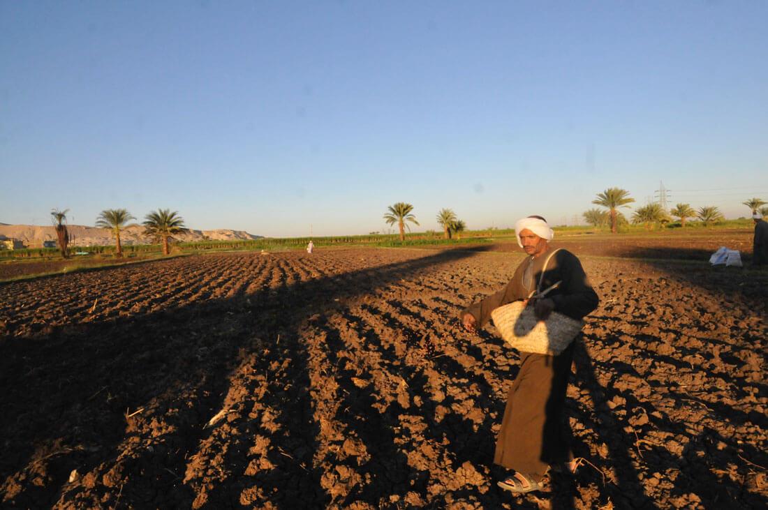 Un campesino en un planto de trigo, en Luxor West BanK