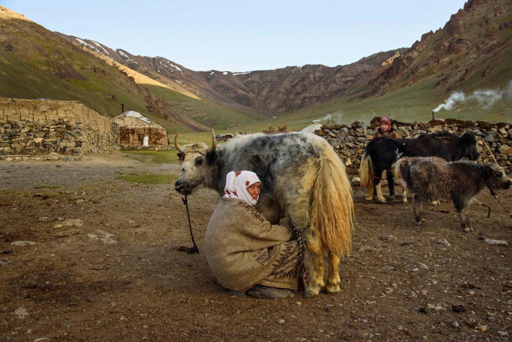 A Kyrgyz woman milking her yak