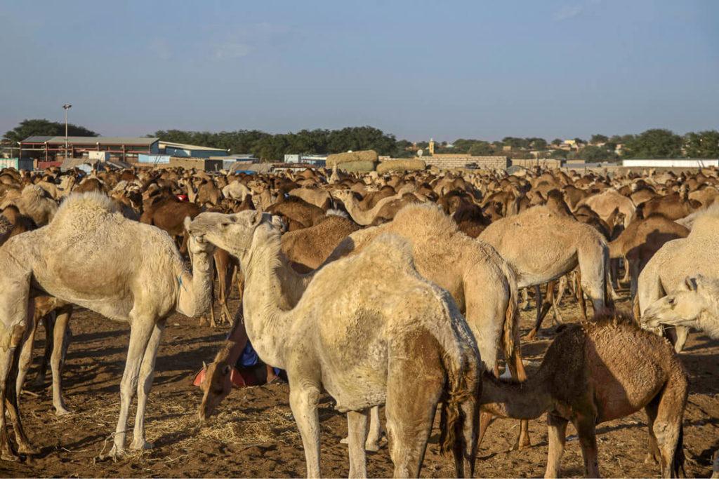mercado camellos Nouakchott