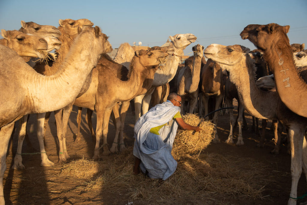 mercado de camellos de Nuakchott