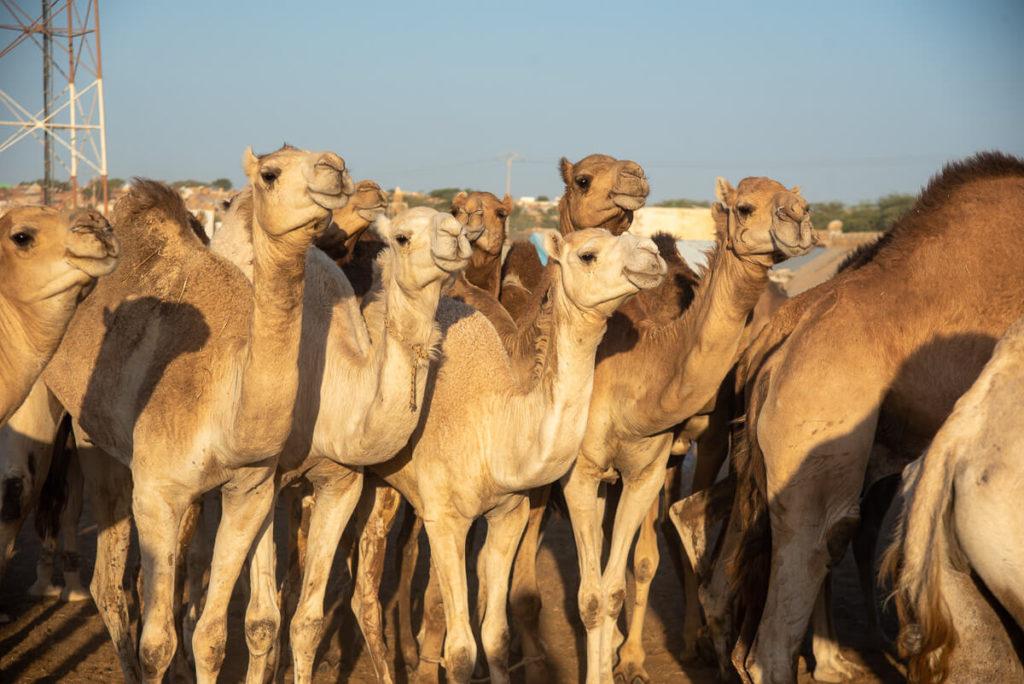 Camels at the camel market of Nouakchott